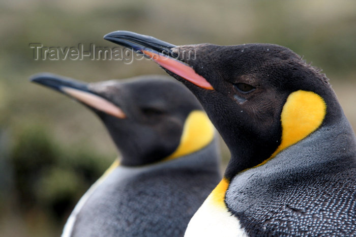 falkland46: Falkland islands - East Falkland - Salvador - pair of King Penguins - close up - Aptenodytes patagonicus - photo by Christophe Breschi - (c) Travel-Images.com - Stock Photography agency - Image Bank