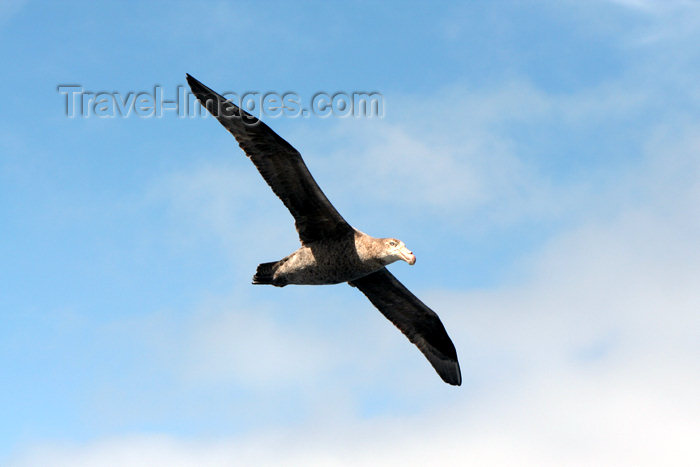 falkland5: South Atlantic - Southern Giant petrel - Stinker - Pétrel géant - Macronectes giganteus - photo by Christophe Breschi - (c) Travel-Images.com - Stock Photography agency - Image Bank