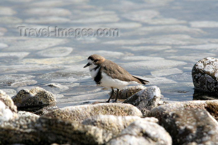 falkland50: Falkland islands - East Falkland - Salvador - Two-banded Plover - Beach Lark - Charadrius falklandicus - photo by Christophe Breschi - (c) Travel-Images.com - Stock Photography agency - Image Bank