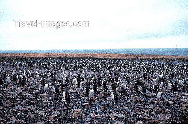 falkland6: Falkland islands / Ilhas Malvinas - East Falkland / Isla Soledad: Penguin colony - rookery - Antarctic fauna (photo by Rod Eime) - (c) Travel-Images.com - Stock Photography agency - Image Bank