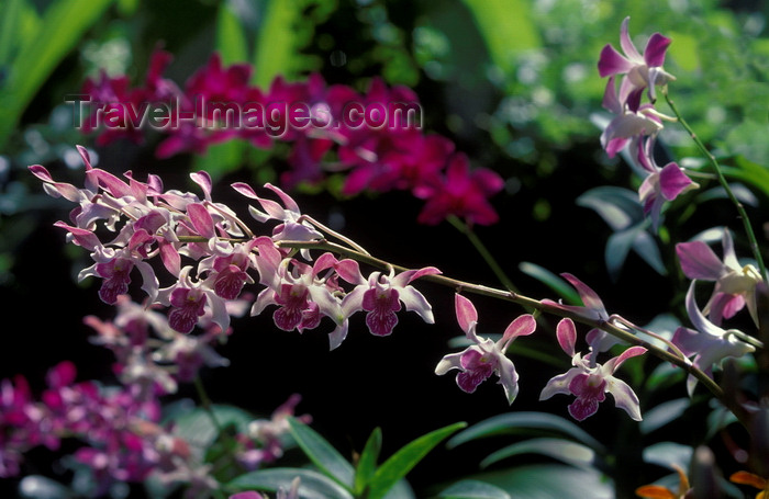 fiji11: Viti Levu, Fiji: Fuschia Orchids in the Garden of the Sleeping Giant, owned by Raymond Burr, star of Perry Mason - foothills of the Nausori Highlands - photo by C.Lovell - (c) Travel-Images.com - Stock Photography agency - Image Bank
