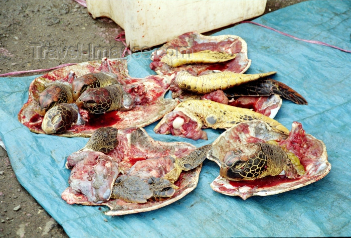 fiji16: Suva, Viti Levu island, Fiji / Fidji: turtle meat - dismembered sea turtles on display in the market - photo by R.Eime - (c) Travel-Images.com - Stock Photography agency - Image Bank