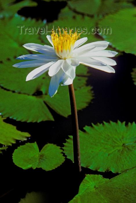fiji6: Viti Levu, Fiji: Lotus blossom - photo by C.Lovell - (c) Travel-Images.com - Stock Photography agency - Image Bank