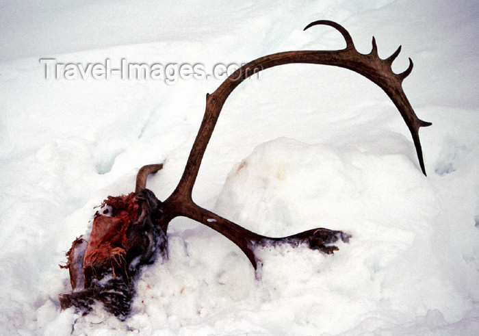 fin110: Finland - Lapland - reindeer head with antlers in the snow - Arctic images by F.Rigaud - (c) Travel-Images.com - Stock Photography agency - Image Bank