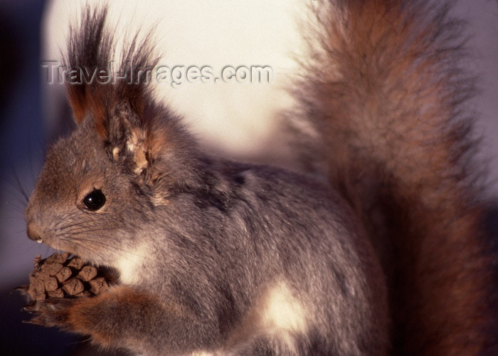 fin48: Finland - Lapland: squirrel (photo by F.Rigaud) - (c) Travel-Images.com - Stock Photography agency - Image Bank