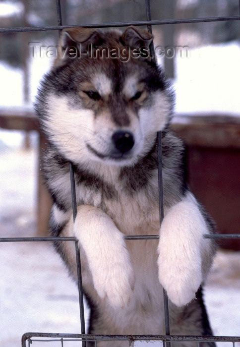 fin51: Finland - Lapland: husky on a fence - dog - arctic (photo by F.Rigaud) - (c) Travel-Images.com - Stock Photography agency - Image Bank