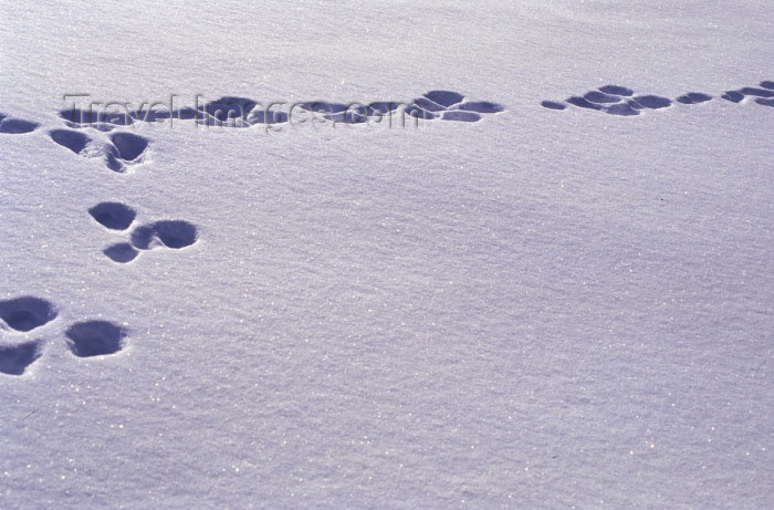fin66: Finland - Lapland: dog prints in the snow (photo by F.Rigaud) - (c) Travel-Images.com - Stock Photography agency - Image Bank