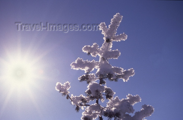 fin67: Finland - Lapland: ice covered pinetree and the sun (photo by F.Rigaud) - (c) Travel-Images.com - Stock Photography agency - Image Bank