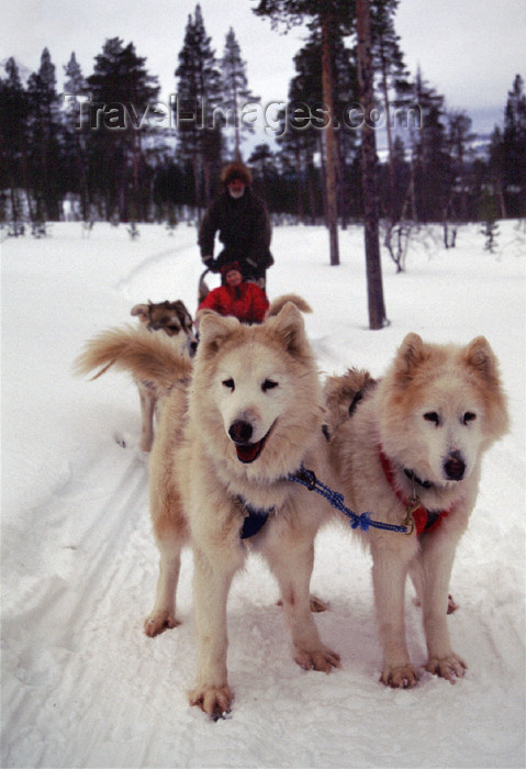 fin88: Finland - Lapland - Ivalo - Huskies at work - sledge - dogsled - Arctic images by F.Rigaud - (c) Travel-Images.com - Stock Photography agency - Image Bank