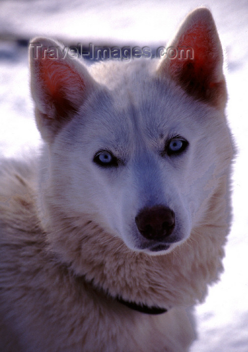 fin89: Finland - Lapland - Ivalo - Husky face - quintessential arctic dog - Arctic images by F.Rigaud - (c) Travel-Images.com - Stock Photography agency - Image Bank