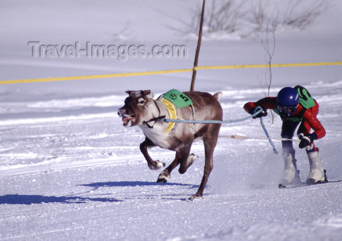 fin90: Finland - Lapland - Ivalo - Reindeer races - Arctic images by F.Rigaud - (c) Travel-Images.com - Stock Photography agency - Image Bank