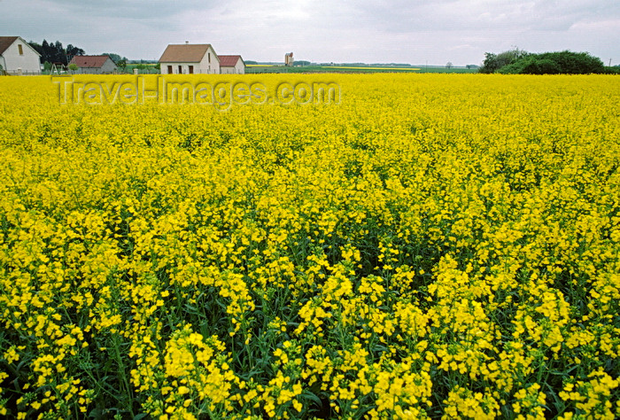 france1075: Loir-et-Cher, Centre, France: yellow mustard field and farm house - Loire Valley - photo by C.Lovell - (c) Travel-Images.com - Stock Photography agency - Image Bank