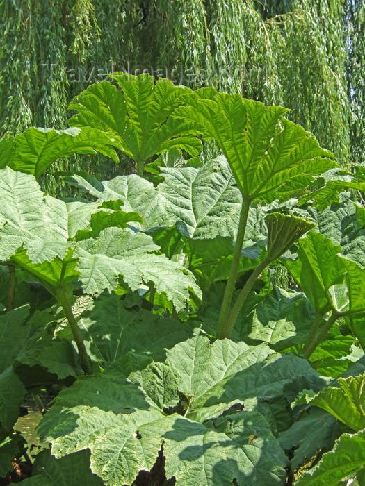 france1249: Le Havre, Seine-Maritime, Haute-Normandie, France: Gunnera Manicata, Giant Rhubarb plant at St Roch Gardens - photo by A.Bartel - (c) Travel-Images.com - Stock Photography agency - Image Bank