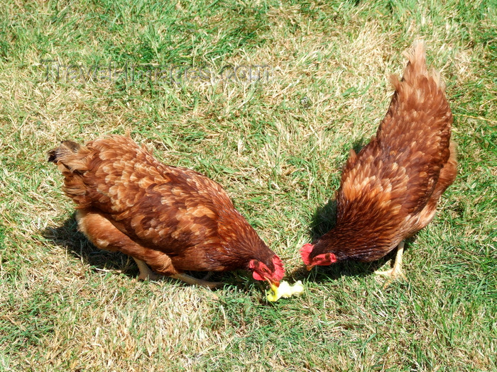 france1396: Haute-Normandie, France: free range hens foraging - chicken - photo by A.Bartel - (c) Travel-Images.com - Stock Photography agency - Image Bank