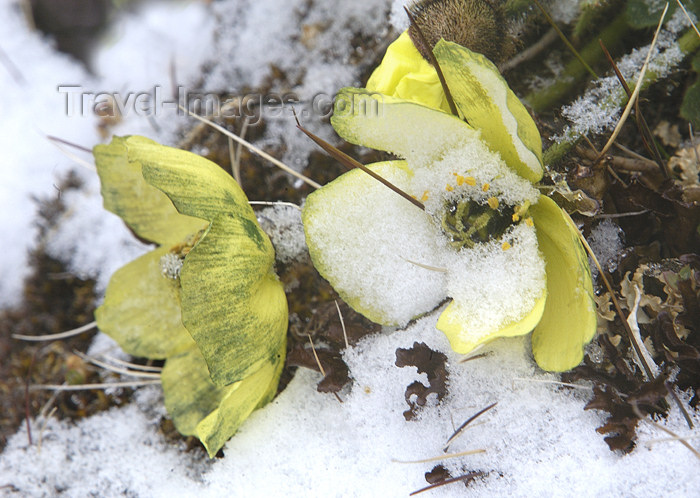franz-josef17: Franz Josef Land Arctic Buttercups in snow, Cape Tegethofff, Hall Island - Arkhangelsk Oblast, Northwestern Federal District, Russia - photo by Bill Cain - (c) Travel-Images.com - Stock Photography agency - Image Bank