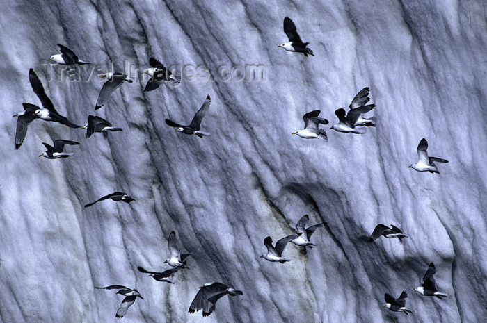 franz-josef18: Franz Josef Land Arctic terns in flight against an iceberg - Arkhangelsk Oblast, Northwestern Federal District, Russia - photo by Bill Cain - (c) Travel-Images.com - Stock Photography agency - Image Bank