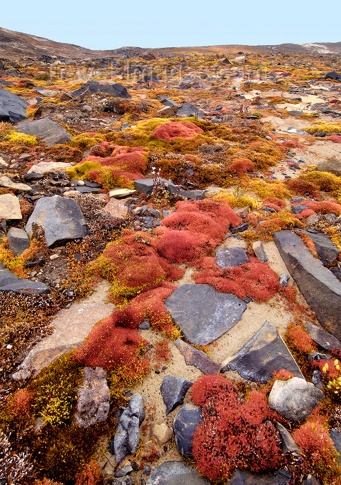 franz-josef2: Russia - Franz Josef Land - Champ Island: moss and ground cover (photo by Bill Cain) - (c) Travel-Images.com - Stock Photography agency - Image Bank