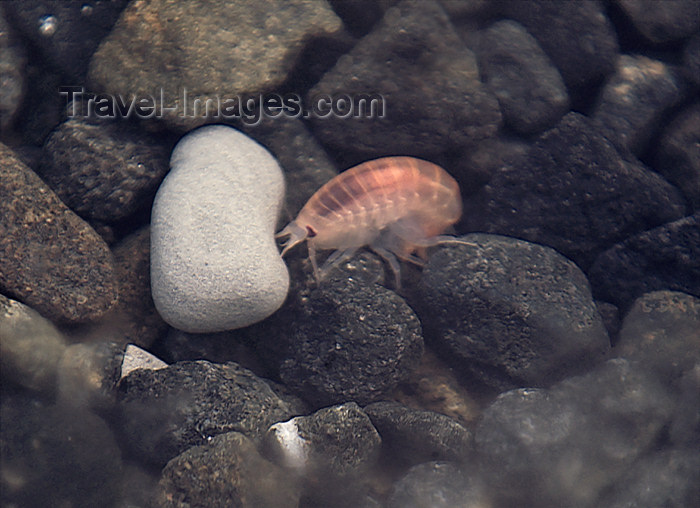 franz-josef43: Franz Josef Land Krill in shallow water, Hall Island - Arkhangelsk Oblast, Northwestern Federal District, Russia - photo by Bill Cain - (c) Travel-Images.com - Stock Photography agency - Image Bank