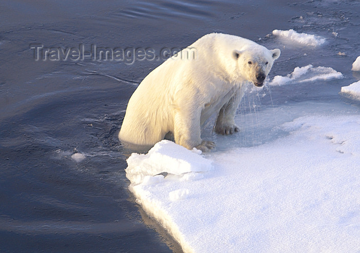 franz-josef60: Franz Josef Land Polar Bear emerging from water onto ice - Arkhangelsk Oblast, Northwestern Federal District, Russia - photo by Bill Cain - (c) Travel-Images.com - Stock Photography agency - Image Bank