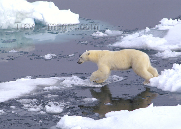 franz-josef61: Franz Josef Land Polar Bear jumping between ice flows - Arkhangelsk Oblast, Northwestern Federal District, Russia - photo by Bill Cain - (c) Travel-Images.com - Stock Photography agency - Image Bank