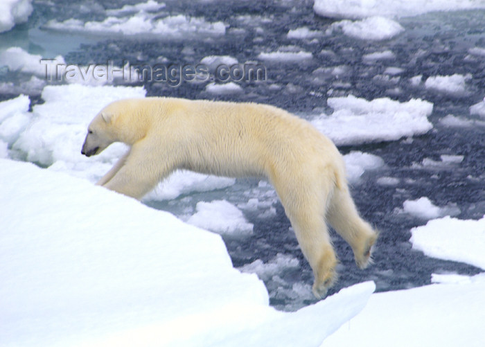 franz-josef62: Franz Josef Land Polar Bear leaping between ice flows - Arkhangelsk Oblast, Northwestern Federal District, Russia - photo by Bill Cain - (c) Travel-Images.com - Stock Photography agency - Image Bank