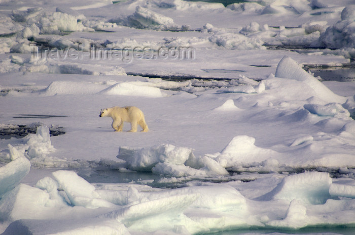 franz-josef64: Franz Josef Land Polar Bear on pack ice from ship - Arkhangelsk Oblast, Northwestern Federal District, Russia - photo by Bill Cain - (c) Travel-Images.com - Stock Photography agency - Image Bank