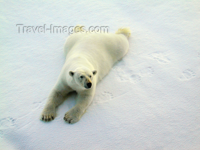 franz-josef65: Franz Josef Land Polar Bear Outstretched on ice - Arkhangelsk Oblast, Northwestern Federal District, Russia - photo by Bill Cain - (c) Travel-Images.com - Stock Photography agency - Image Bank