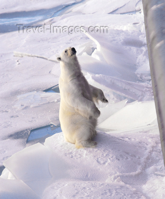 franz-josef66: Franz Josef Land Polar Bear sitting up next to ship - Arkhangelsk Oblast, Northwestern Federal District, Russia - photo by Bill Cain - (c) Travel-Images.com - Stock Photography agency - Image Bank