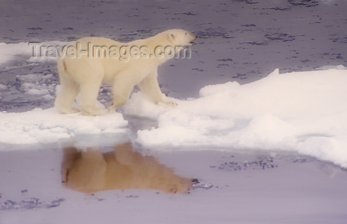 franz-josef67: Franz Josef Land Polar Bear walking on ice flows with reflection - Arkhangelsk Oblast, Northwestern Federal District, Russia - photo by Bill Cain - (c) Travel-Images.com - Stock Photography agency - Image Bank