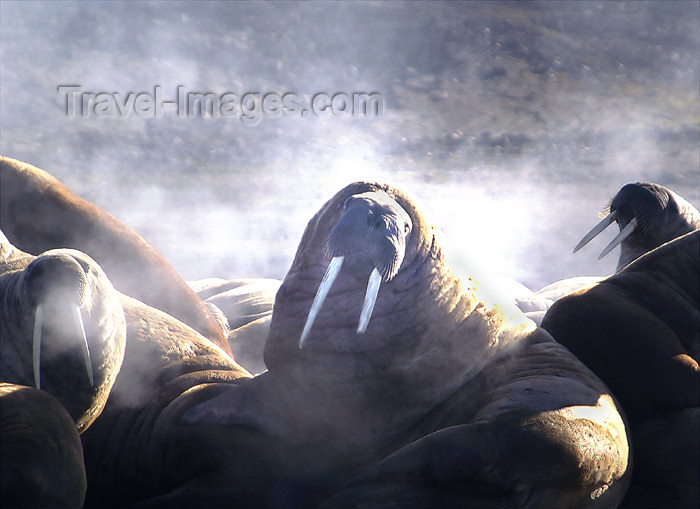 franz-josef81: Franz Josef Land Steaming Walruses - Arkhangelsk Oblast, Northwestern Federal District, Russia - photo by Bill Cain - (c) Travel-Images.com - Stock Photography agency - Image Bank