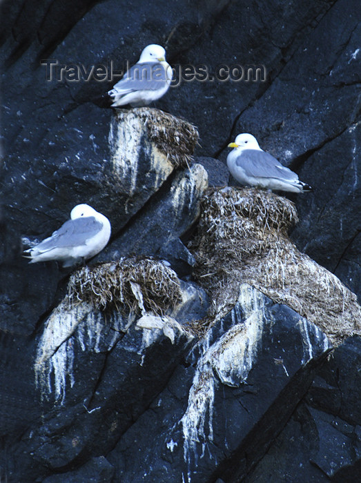 franz-josef85: Franz Josef Land Three nesting terns, Rubinin Rock - Arkhangelsk Oblast, Northwestern Federal District, Russia - photo by Bill Cain - (c) Travel-Images.com - Stock Photography agency - Image Bank