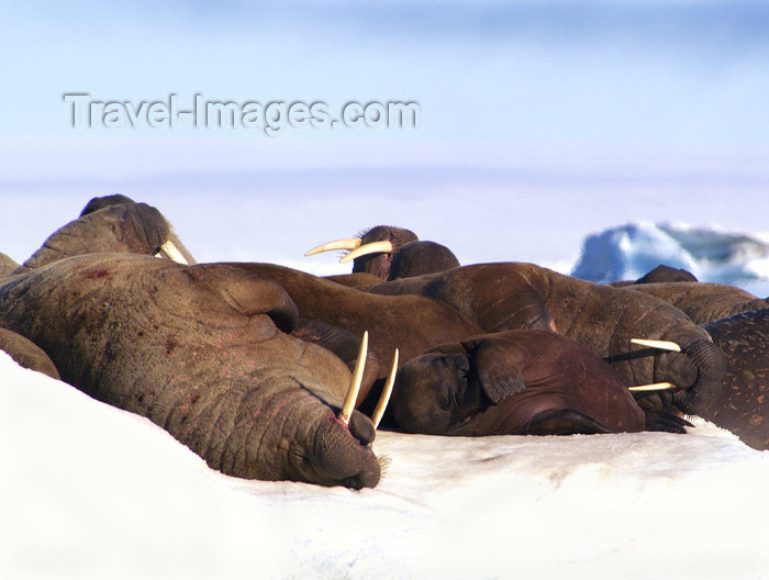 franz-josef90: Franz Josef Land Walruses laying on ice flow - Arkhangelsk Oblast, Northwestern Federal District, Russia - photo by Bill Cain - (c) Travel-Images.com - Stock Photography agency - Image Bank