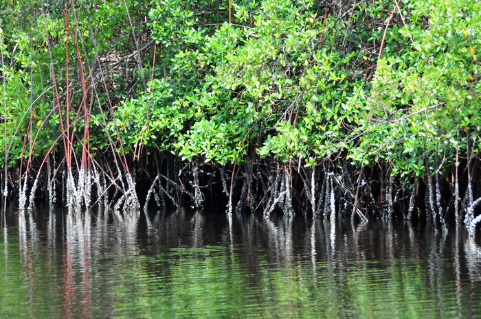 gabon41: Gabon Estuary, Estuaire Province, Gabon: mangroves grow in the brackish water along the banks - Gabon River - Komo Estuary - photo by M.Torres - (c) Travel-Images.com - Stock Photography agency - Image Bank