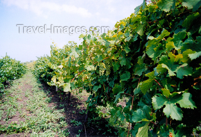 gagauzia19: Gagauzia, Moldova: vineyards - wine production is an old tradtion in this area - photo by M.Torres - (c) Travel-Images.com - Stock Photography agency - Image Bank
