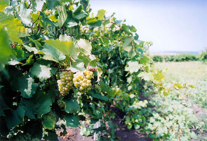 gagauzia20: Gagauzia, Moldova: vineyards - white grapes for winemaking - photo by M.Torres - (c) Travel-Images.com - Stock Photography agency - Image Bank