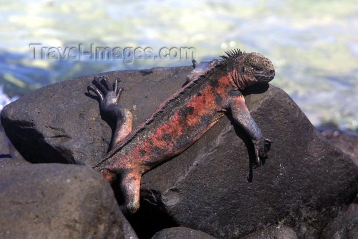 Iguanidae Family Iguanidae Photo
