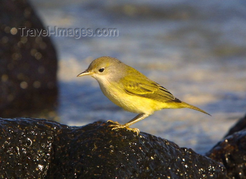 galapagos10: Galapagos Islands: yellow warbler - Dendroica petechia - photo by R.Eime - (c) Travel-Images.com - Stock Photography agency - Image Bank
