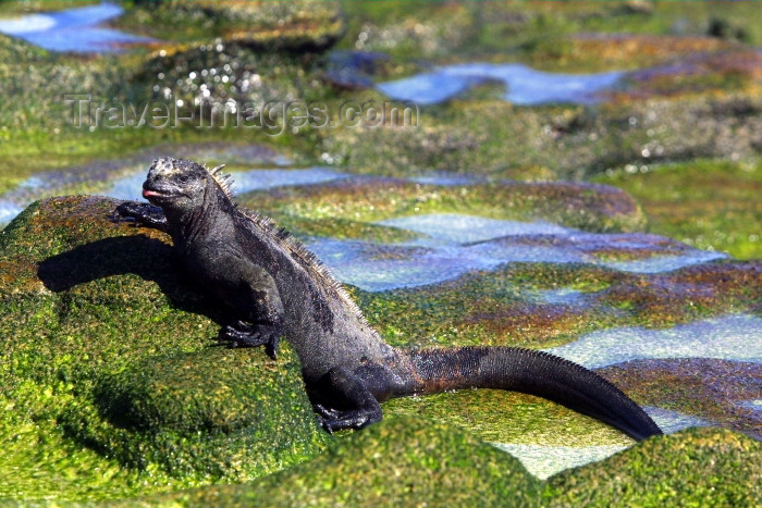 galapagos13: Galapagos Islands - Santa Cruz island: marine iguana (amblyrhynchus cristatus) feeds on algae growing on rocks - evolution - photo by R.Eime - (c) Travel-Images.com - Stock Photography agency - Image Bank
