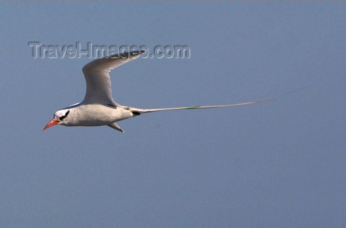 galapagos17: Galapagos Islands: Red Billed Tropicbird or Boatswain Bird - in flight - Phaethon aethereus - photo by R.Eime - (c) Travel-Images.com - Stock Photography agency - Image Bank