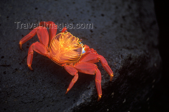 galapagos24: Plazas Island, Galapagos Islands, Ecuador: the Sally Lightfoot Crab (Grapsus grapsus) is black when young, but turns a brilliant red at maturity - photo by C.Lovell - (c) Travel-Images.com - Stock Photography agency - Image Bank