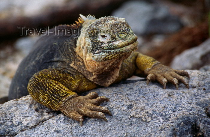 galapagos25: Plazas Island, Galapagos Islands, Ecuador: the Galapagos Land Iguana (Conolophus pallidus) feeds mainly on prickly pear cactus - photo by C.Lovell - (c) Travel-Images.com - Stock Photography agency - Image Bank