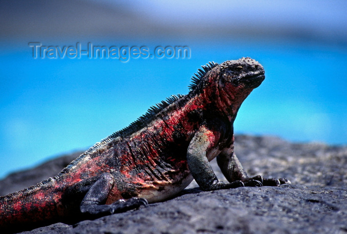 galapagos26: Isla Santa Fé, Galapagos Islands, Ecuador: the Galapagos Marine Iguana (Amblyrhynchus cristatus) is the only sea-going lizard in the world - photo by C.Lovell - (c) Travel-Images.com - Stock Photography agency - Image Bank