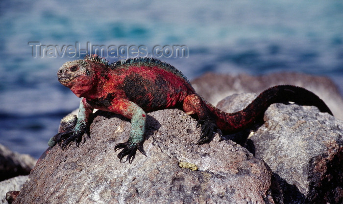 galapagos27: Isla Santa Fé / Barrington Island, Galapagos Islands, Ecuador: the Galapagos Marine Iguana (Amblyrhynchus cristatus) on a rock by the sea - the only sea-going lizard in the world - photo by C.Lovell - (c) Travel-Images.com - Stock Photography agency - Image Bank