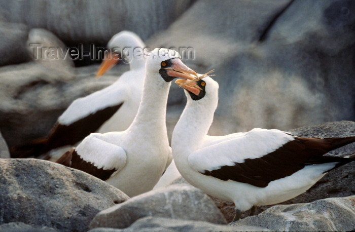 galapagos28: Isabela Island, Galapagos Islands, Ecuador: couple of Masked Booby birds (Sula dactyatra) building a nest among the rocks - photo by C.Lovell - (c) Travel-Images.com - Stock Photography agency - Image Bank