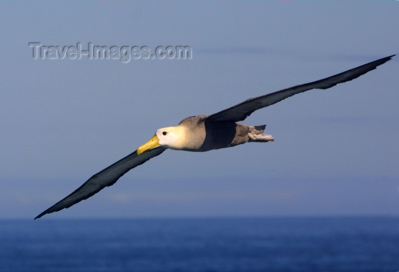 galapagos3: Galapagos Islands: waved albatross - Diomedea irrorata - photo by R.Eime - (c) Travel-Images.com - Stock Photography agency - Image Bank