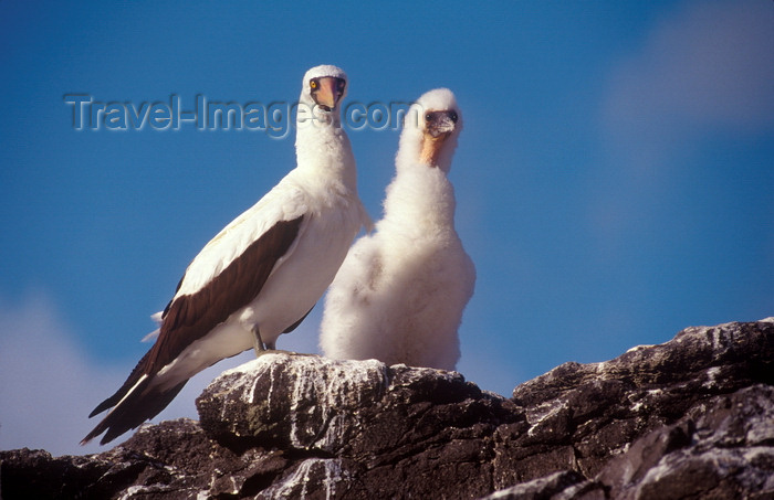 galapagos30: Isla Española, Galapagos Islands, Ecuador: Masked Booby Bird (Sula dactylatra) with chick - photographed on a rock edge, against the sky - photo by C.Lovell - (c) Travel-Images.com - Stock Photography agency - Image Bank