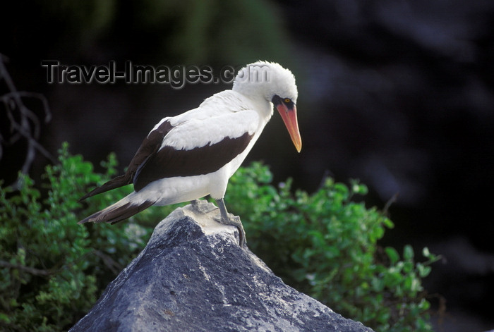 galapagos31: Isla Española, Galapagos Islands, Ecuador: Maked Booby Bird (Sula dactylatra) perched on a pointed rock - photo by C.Lovell - (c) Travel-Images.com - Stock Photography agency - Image Bank
