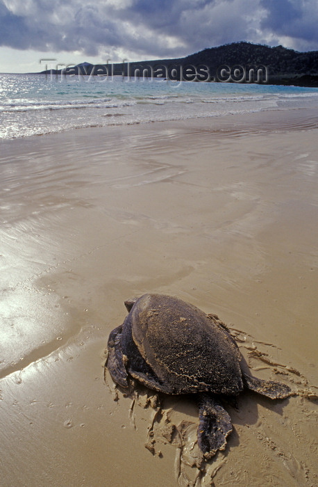 galapagos34: Floreana Island, Galapagos Islands, Ecuador: Pacific Green Sea Turtle (Chelonia mydas) returns to sea after nesting - beach and tranquil waves - photo by C.Lovell - (c) Travel-Images.com - Stock Photography agency - Image Bank