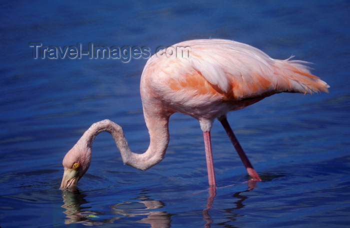 galapagos35: Floreana Island, Galapagos Islands, Ecuador: Greater Flamingo (Phoenicopterus ruber) feeding on a lagoon - photo by C.Lovell - (c) Travel-Images.com - Stock Photography agency - Image Bank