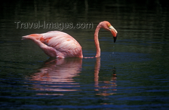 galapagos37: Isla Isabela / Albemarle island, Galapagos Islands, Ecuador: this lagoon provides an ideal habitat for the Greater Flamingo (Phoenicopterus ruber) - pink reflection on the water - photo by C.Lovell - (c) Travel-Images.com - Stock Photography agency - Image Bank